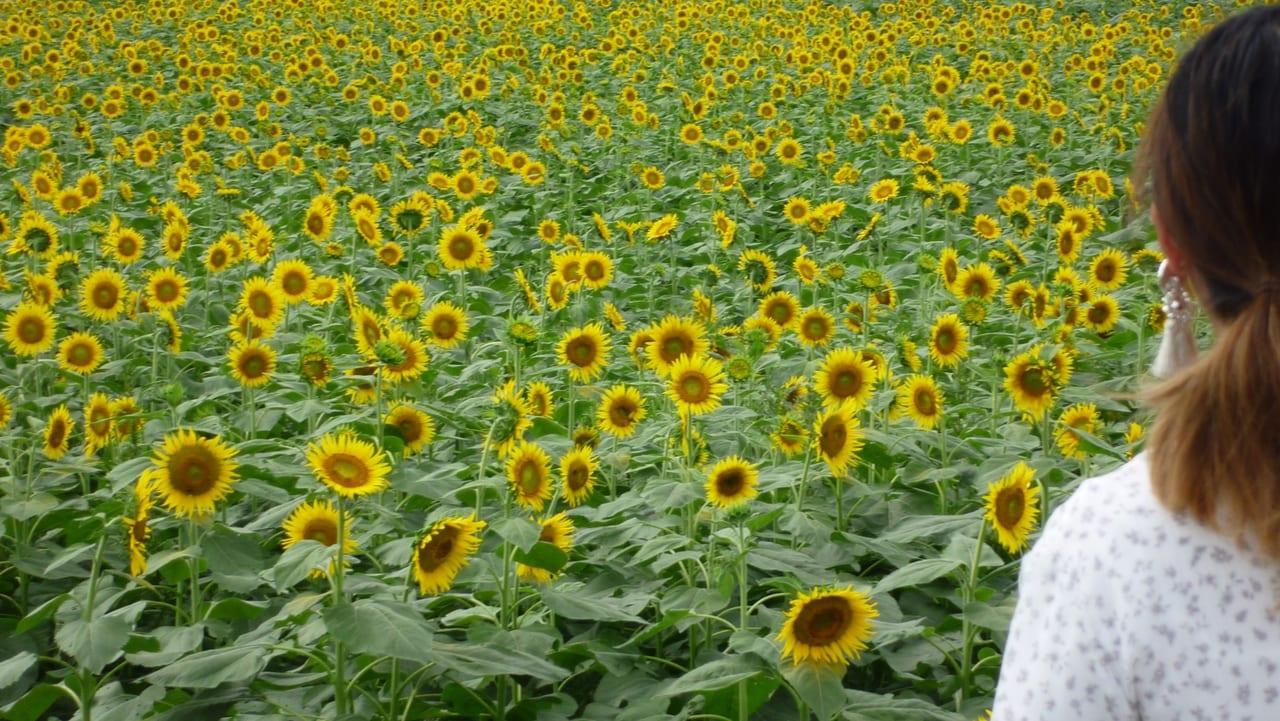 2020 座間 ひまわり 座間ひまわり畑2020の見頃はいつまで⁈開花状況・アクセス・混雑状況も!